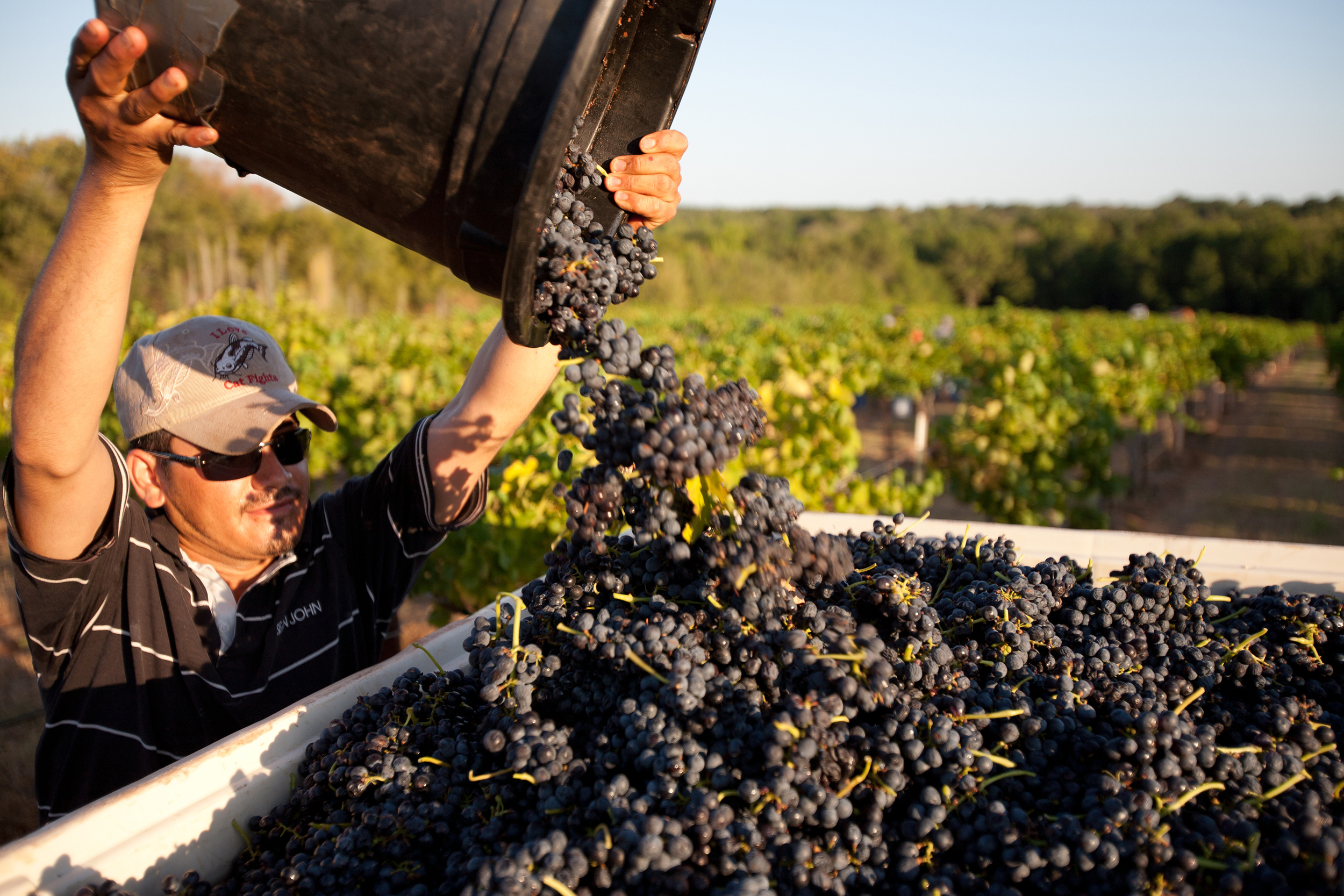 Harvest Time at Kiepersol VIneyards   ©   2015 KIEPERSOL ENTERPRISES