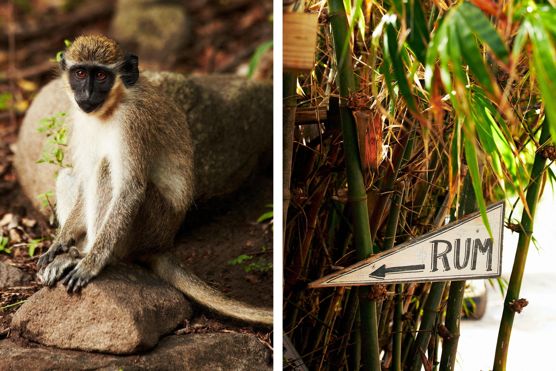 VERVET MONKEYS LIKE THE RUM AT SHIPWRECK BEACH BAR AND GRILL