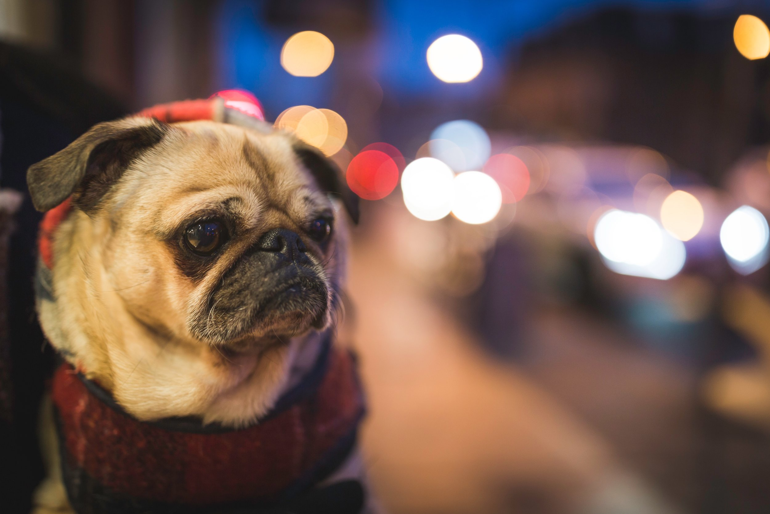 Pugs in particular have had special meaning in my life.