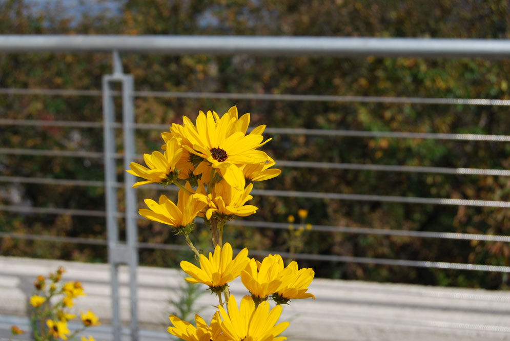Ironically, some cultivars of the Swamp Sunflower can thrive in a sun-baked and windswept environment as is found on a green roof.