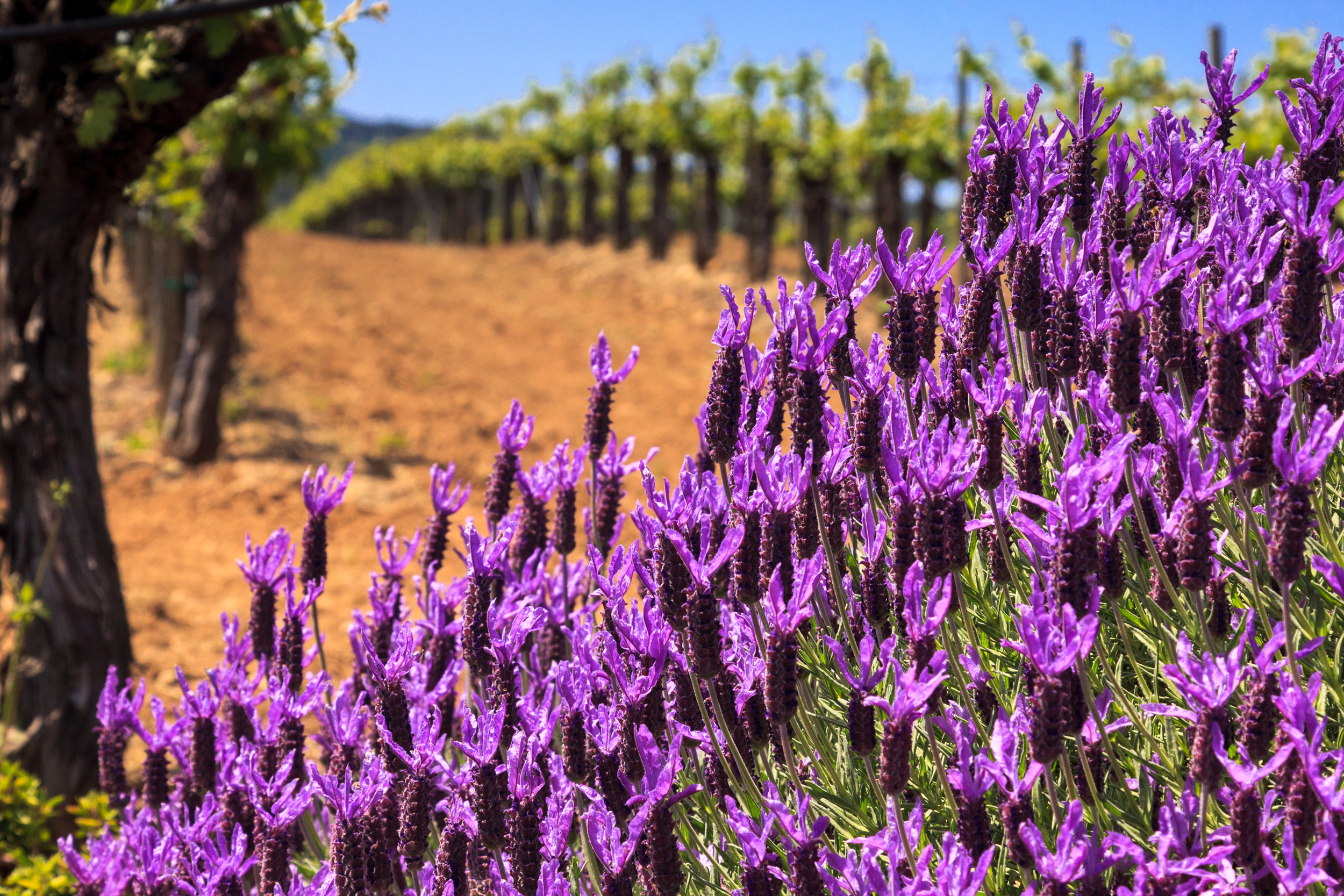 bigstock-Flowers-And-Vineyards-40590253.jpg