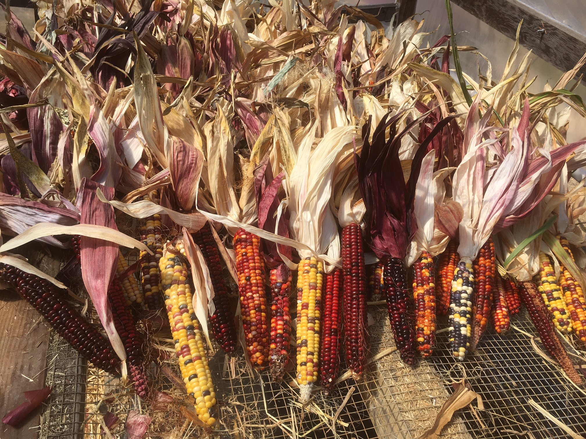 The Painted Mountain corn drying in the greenhouse