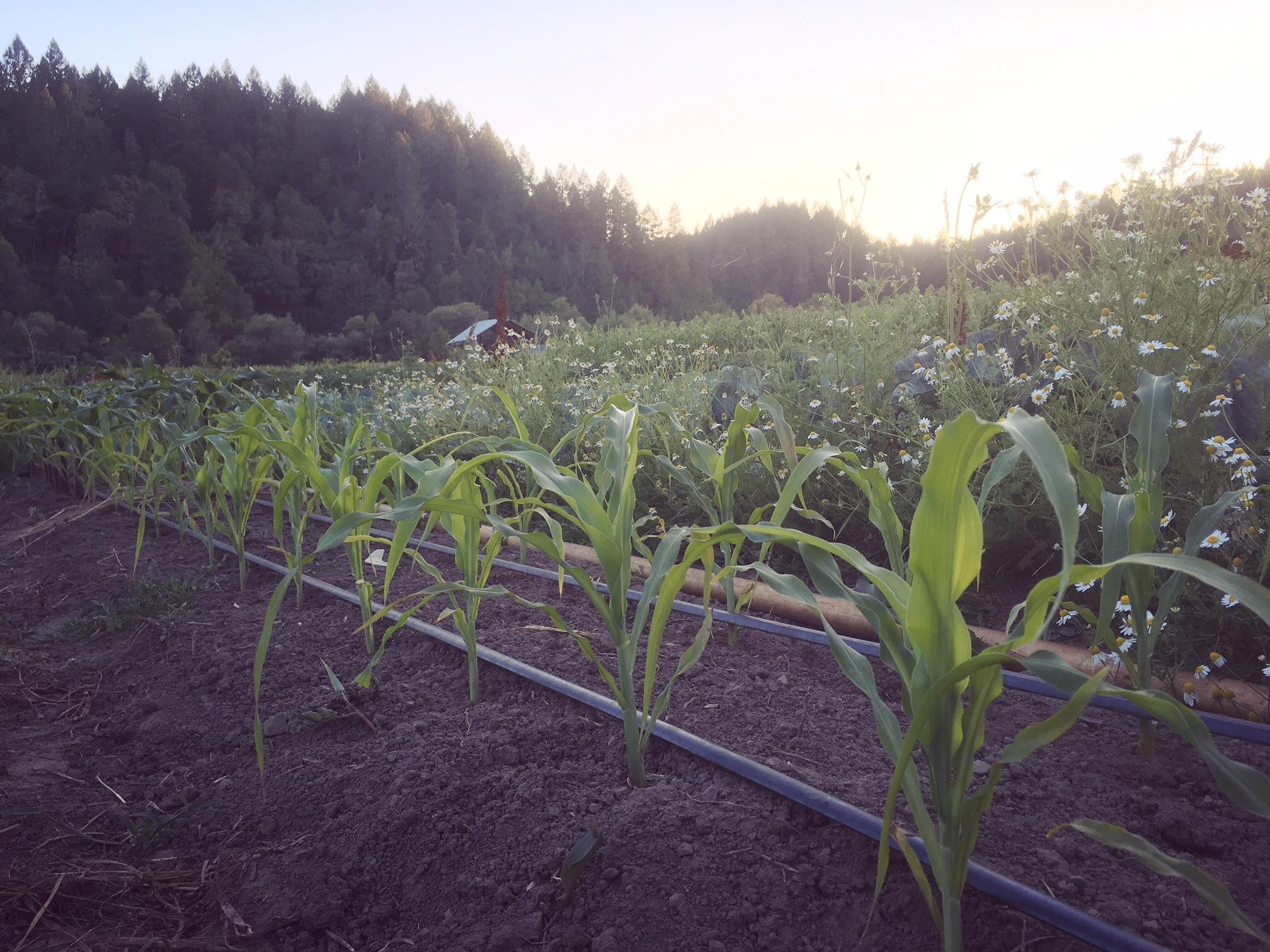 The Tzutujil Maya Corn of Birth and Death growing in the East field