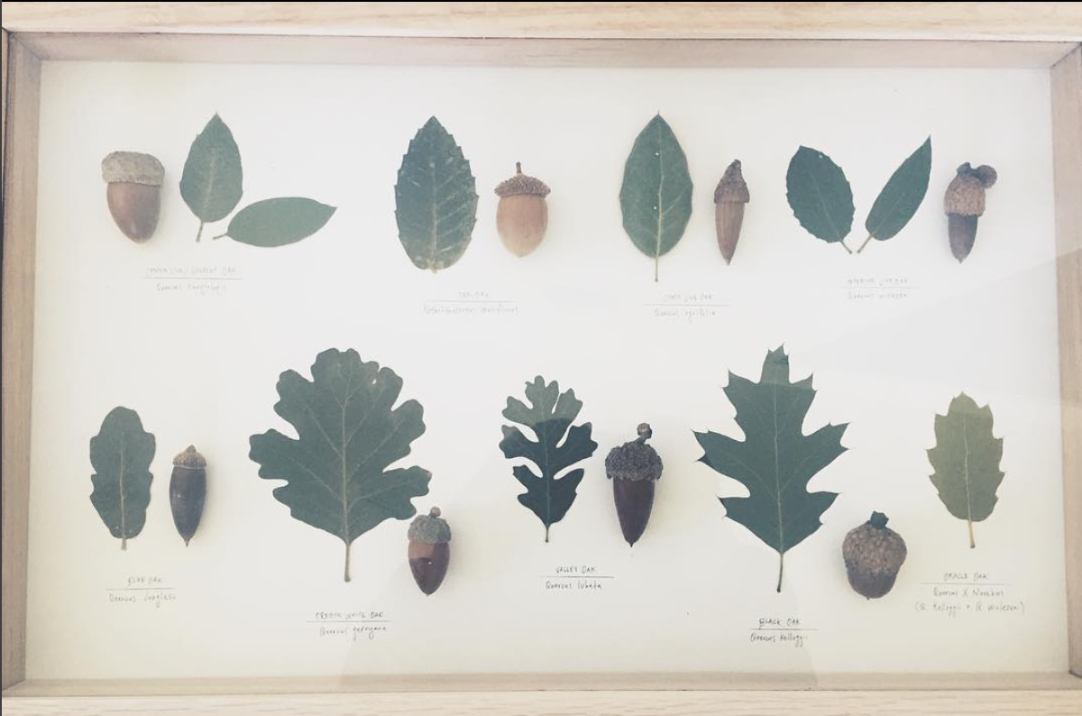 Top (L to R): Canyon live oak, Tan oak, Coast live oak, Interior live oak.    Bottom (L to R): Blue oak, Oregon White oak, Valley oak, Black oak, Oracle oak (Hybrid of Black oak x Interior live oak)
