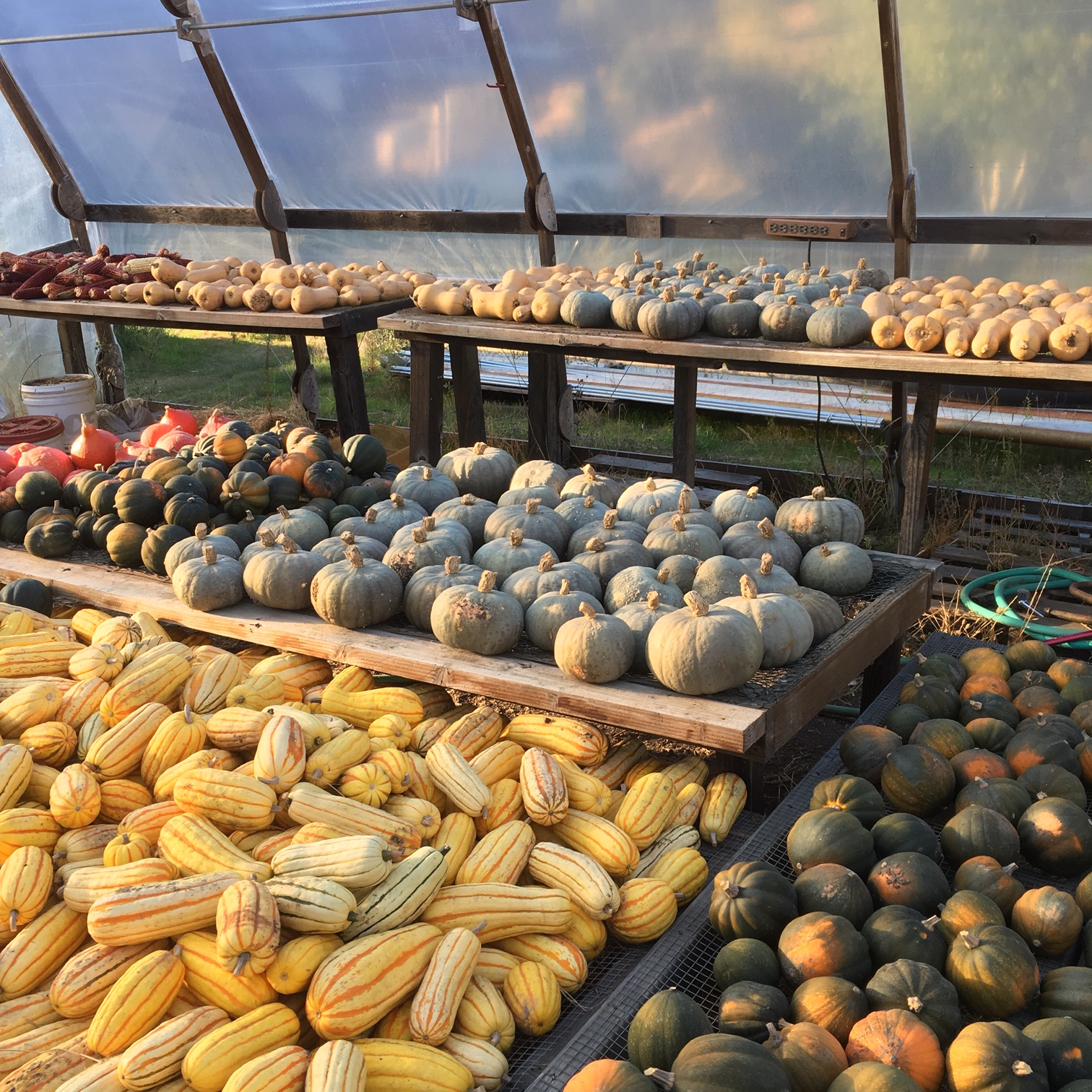 From seed to fruit, full circle. Winter squash drying in the greenhouse where they were seeded.