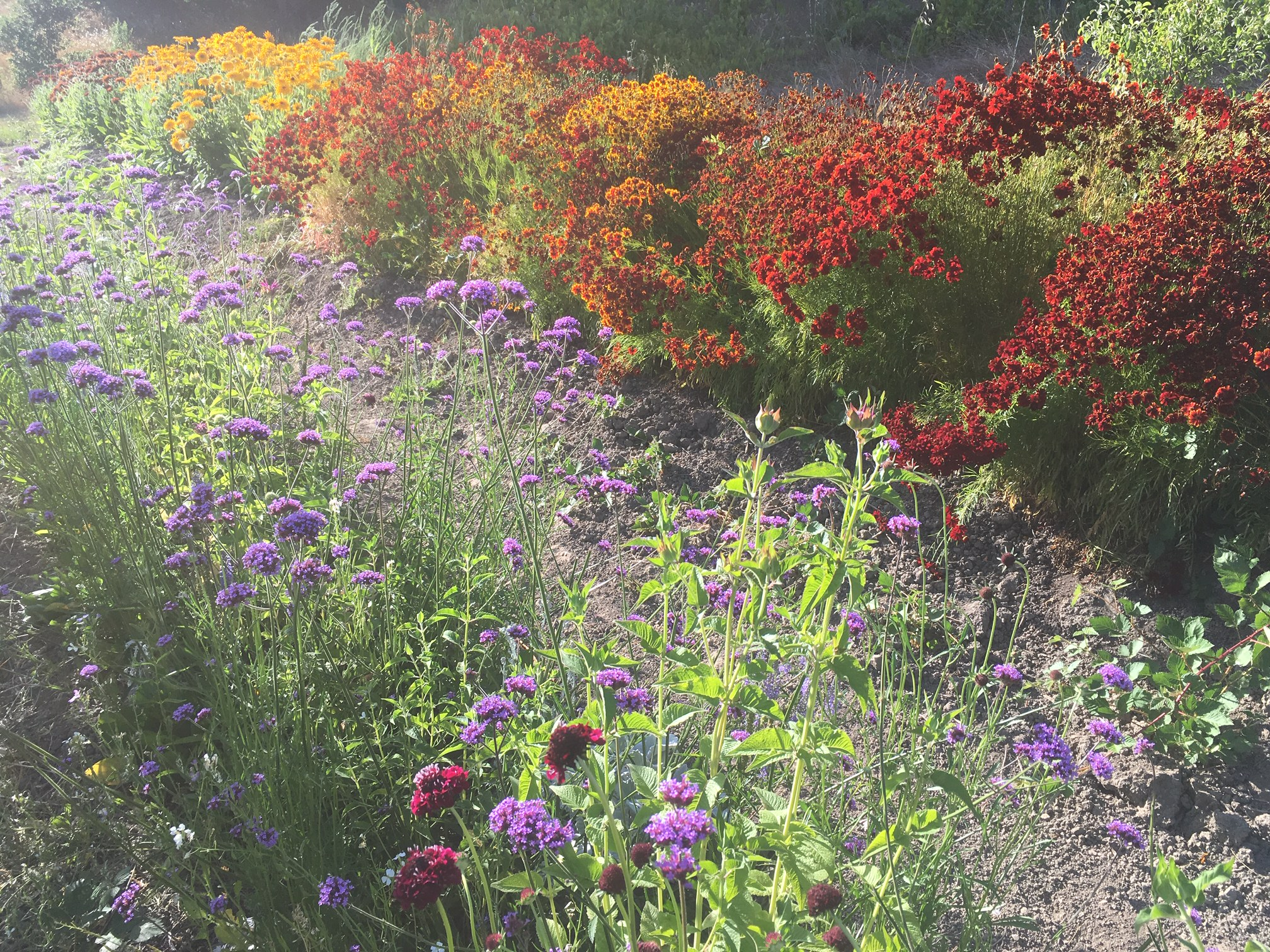 Vebena, Coriopsis and Rudbeckia blooming in the West garden. Now that's a whimsical thought.