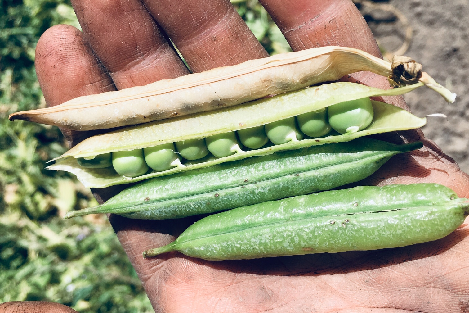 Mature English Shelling Peas
