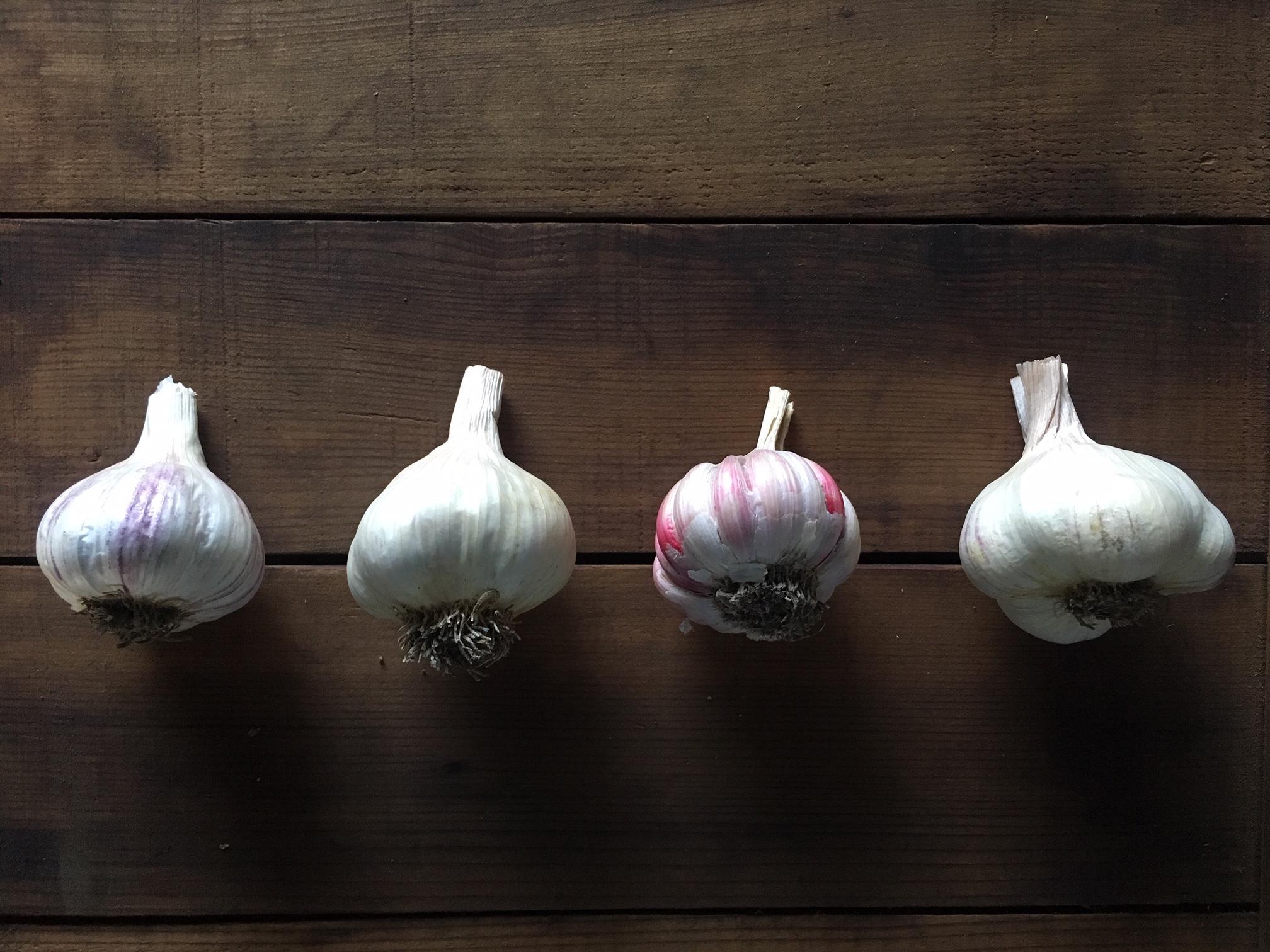 2019's garlic varieties, from L to R: Duganski Hardneck, Italian Late Softneck, Creole Hardneck, Lorz Italian Softneck
