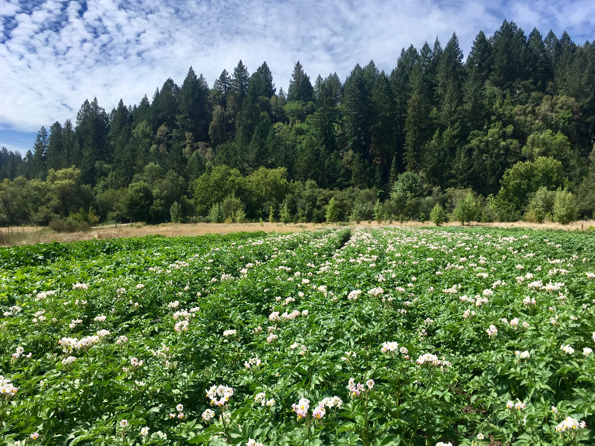 The Desiree Potatoes in full flower. We highly recommend a trip to field 3 which, aside from a few beds, is a full canopy of greenery photosynthesizing fall food for us!