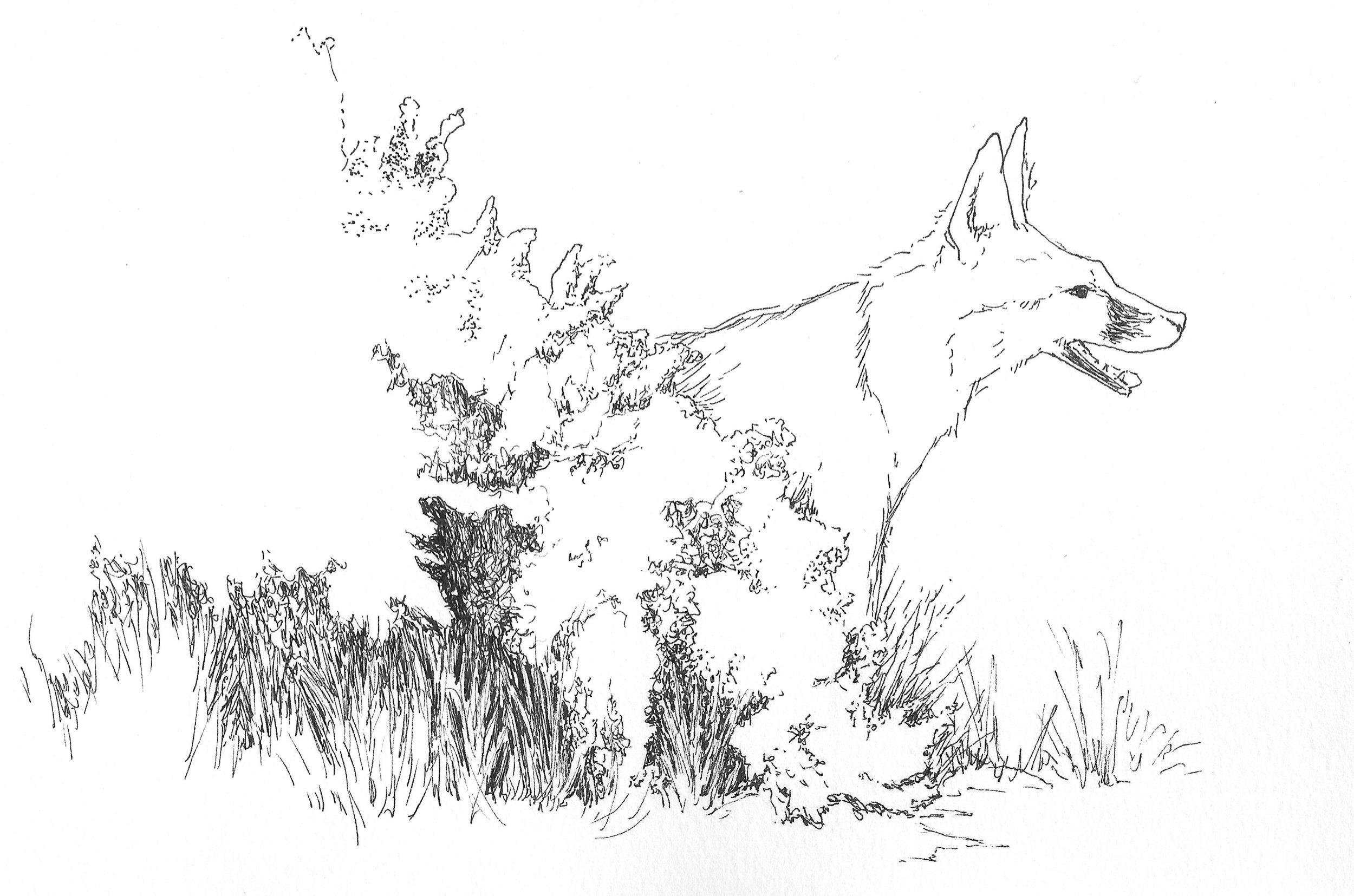 Fox in a Coyote Brush-2.jpg