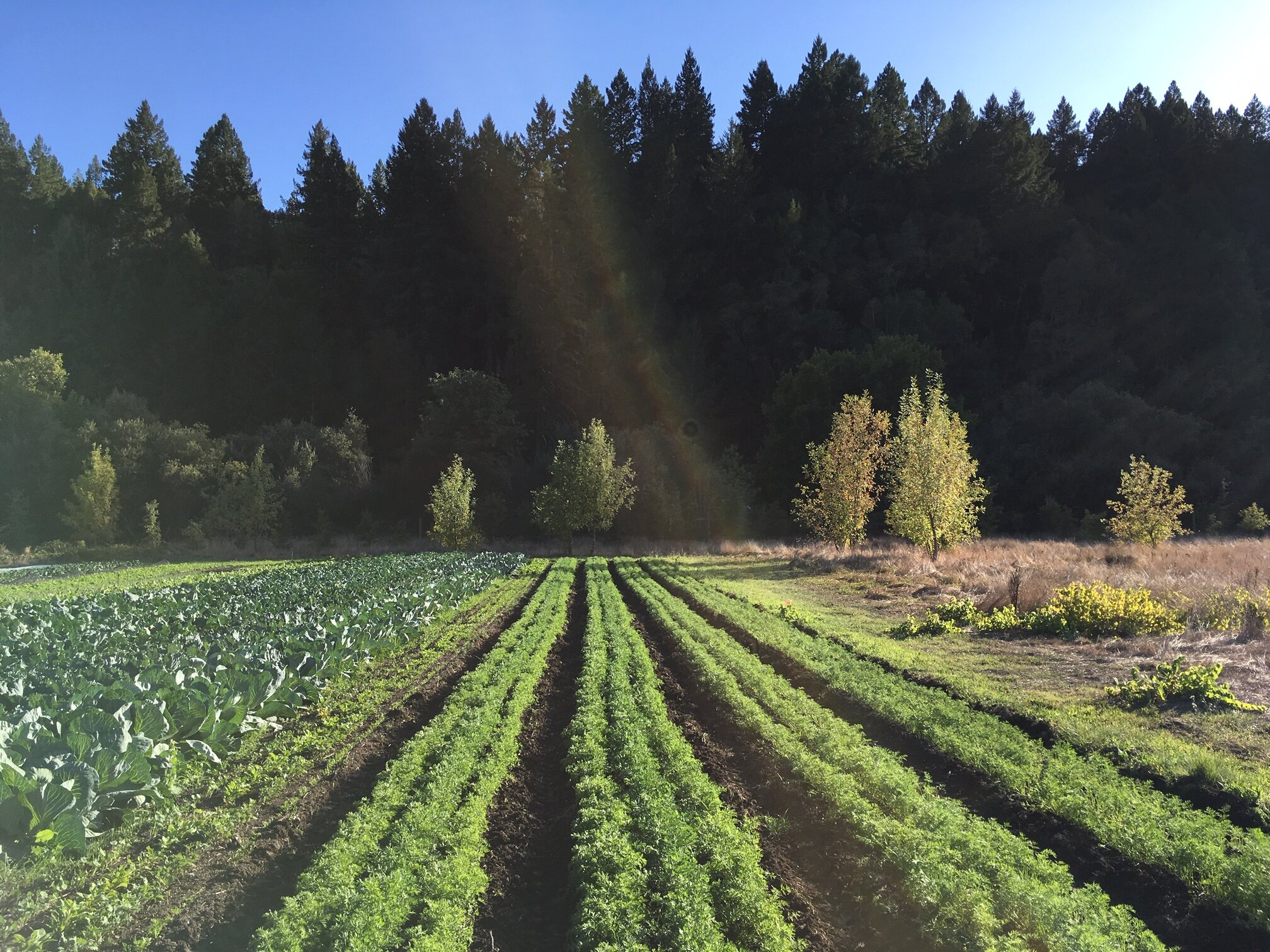 The Fall carrot patch turning sunlight into beta carotene!