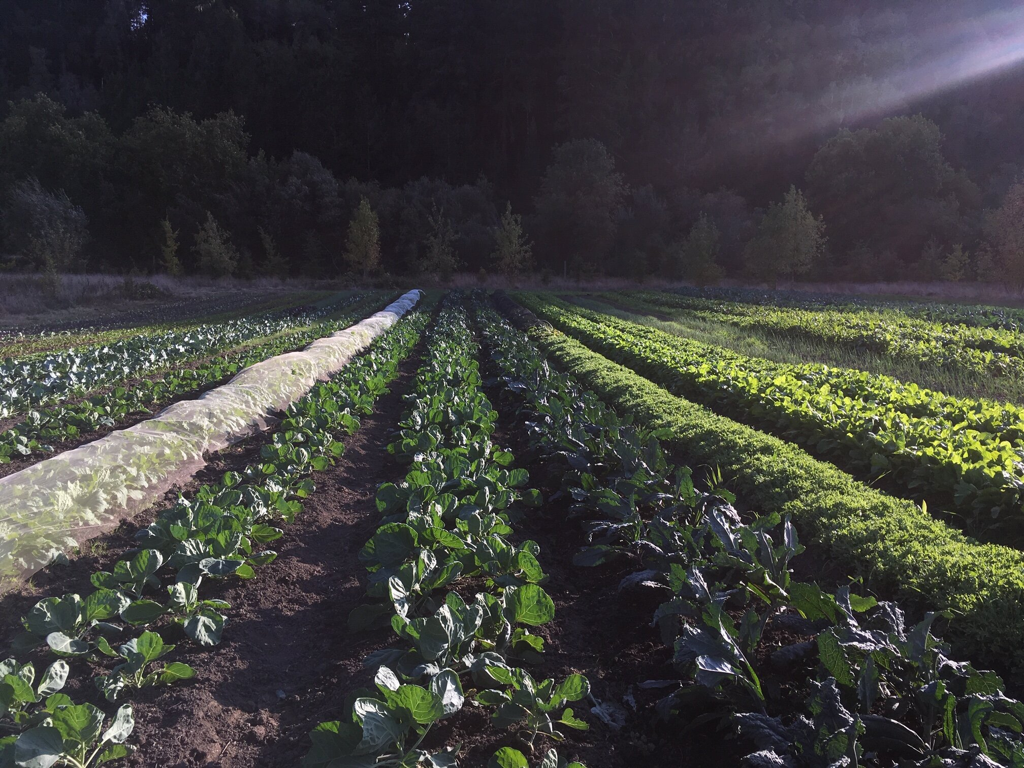 Summer sets on field 4 Napa cabbage, Brussels sprouts, Blue Dino kale, frisee and radicchio, beets, and more!