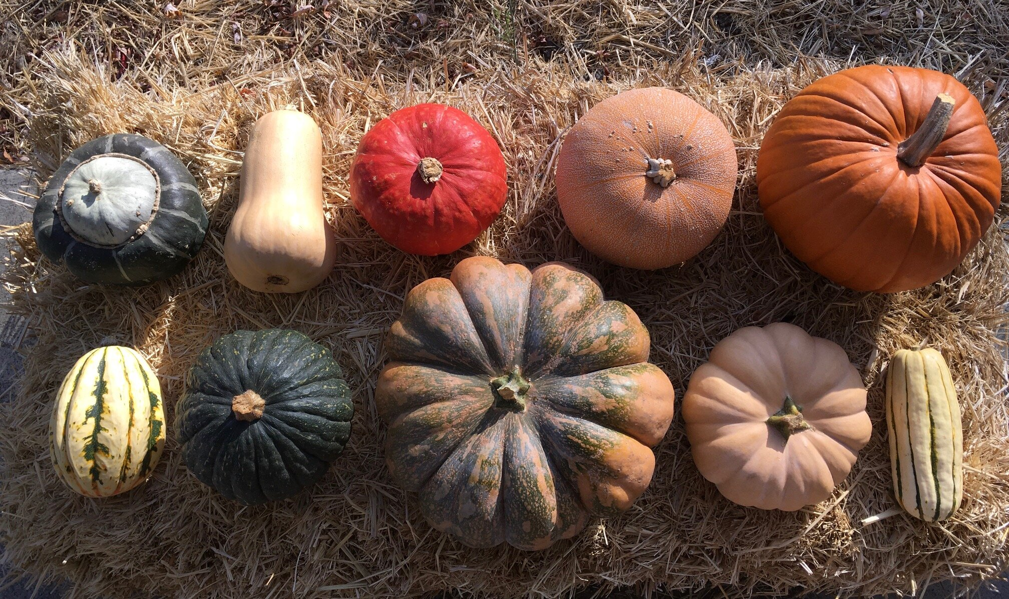 2019's Winter Squash varieties: Top Row from L to R: Bonbon Buttercup, Butternut, Sunshine Kabocha, Winter Luxury Pie Pumpkin, Racer Jack-O-Lanter Pumpkin /// Bottom Row from L to R: Jester Acorn Squash, Tetsukabuto, Musque de Provence, Autumn Crown, Delicata