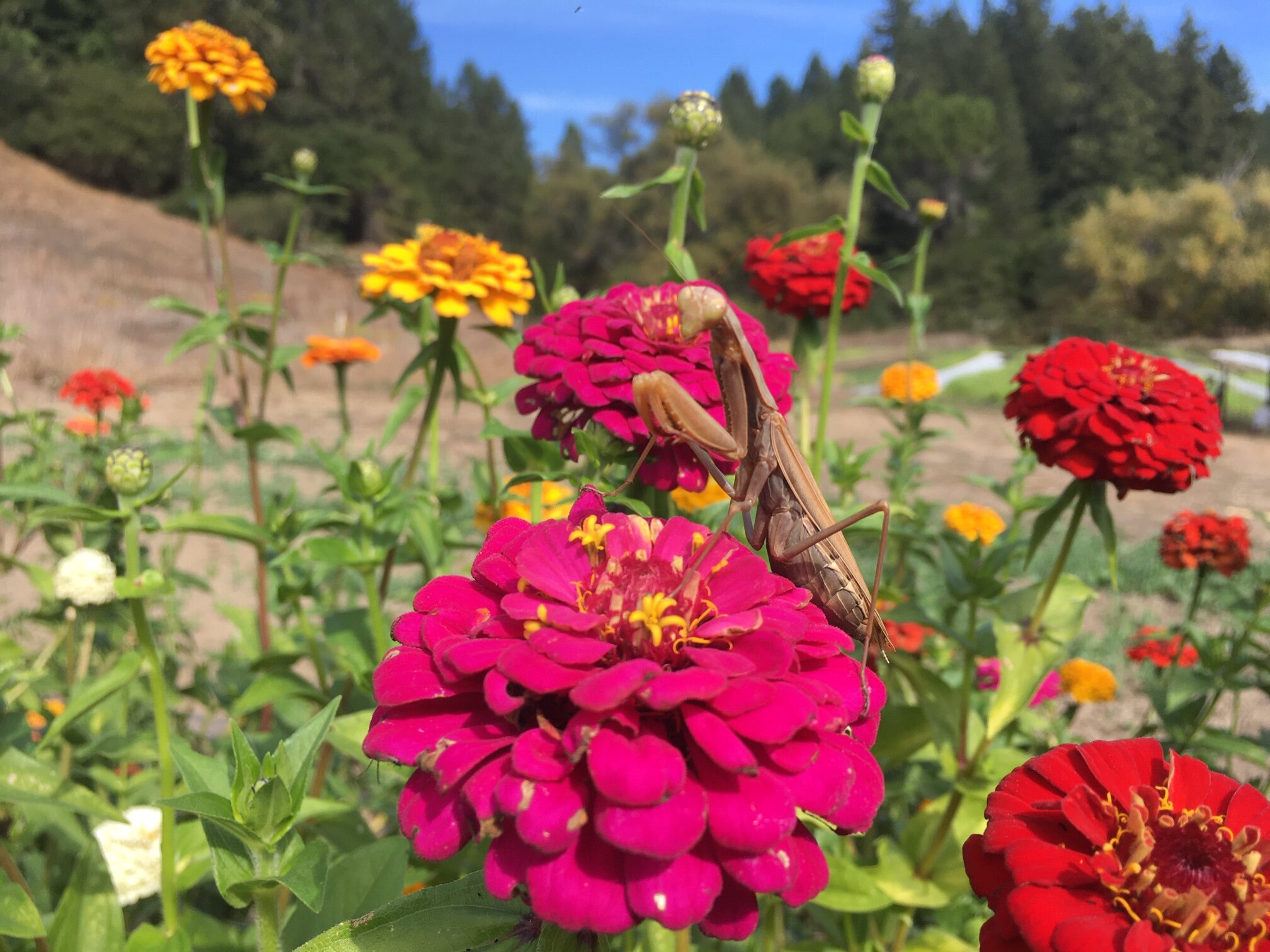 A preying mantis hunts cucumber beetles on the zinnias