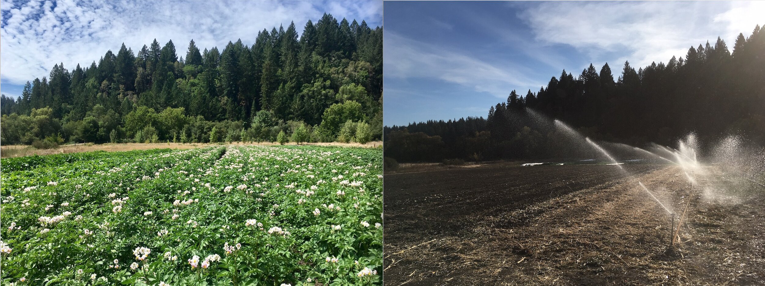 What a difference three months makes. At left, field three in full potato flower on August 8th. At right, the same field on November 7th —irrigating up cover crop seeds with over 4 tons of potatoes, corn and squash harvested.