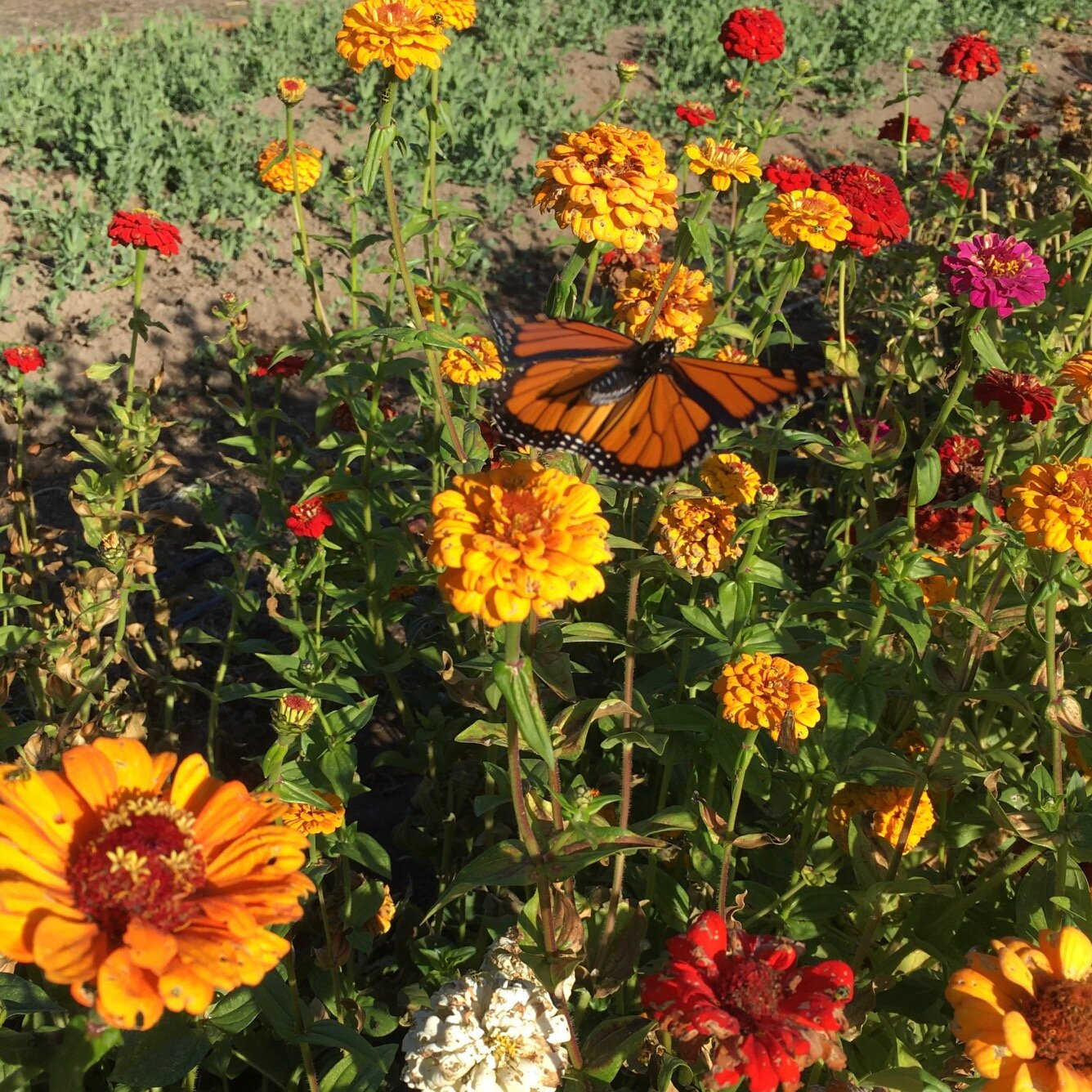 Hello, old friend. A monarch butterfly enjoys the zinnias
