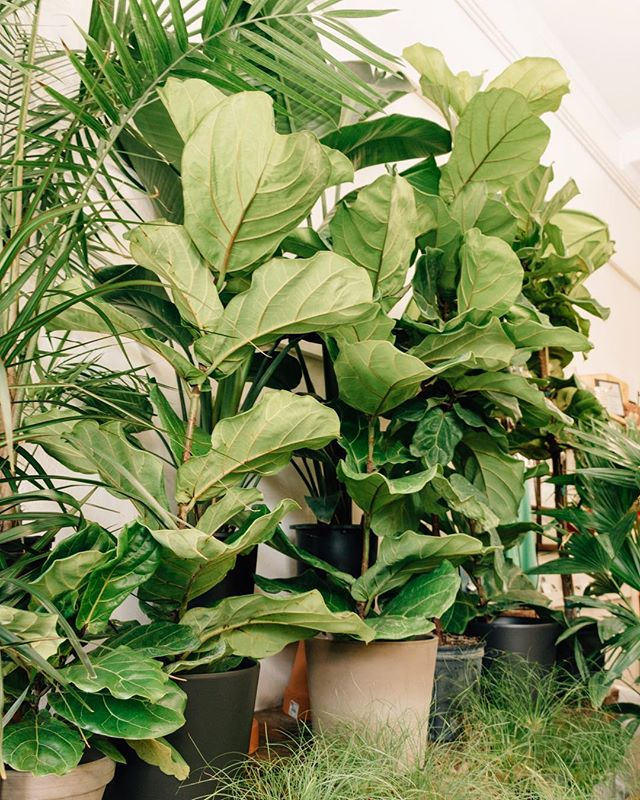 Happy...Fiddle Leaf Fig Friday!?! We have a fun, busy weekend coming up! 🌿Open today 11-6 🌿Last @clevelandflea Saturday 9-4 🌿Store open Saturday 11-6 🌿Store open Sunday 11-3