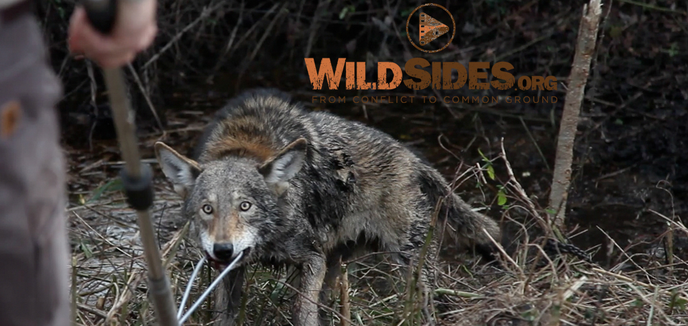 Red Wolf Capture
