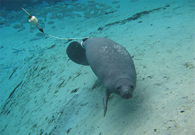 Goose the Manatee (Courtesy: SC DNR)