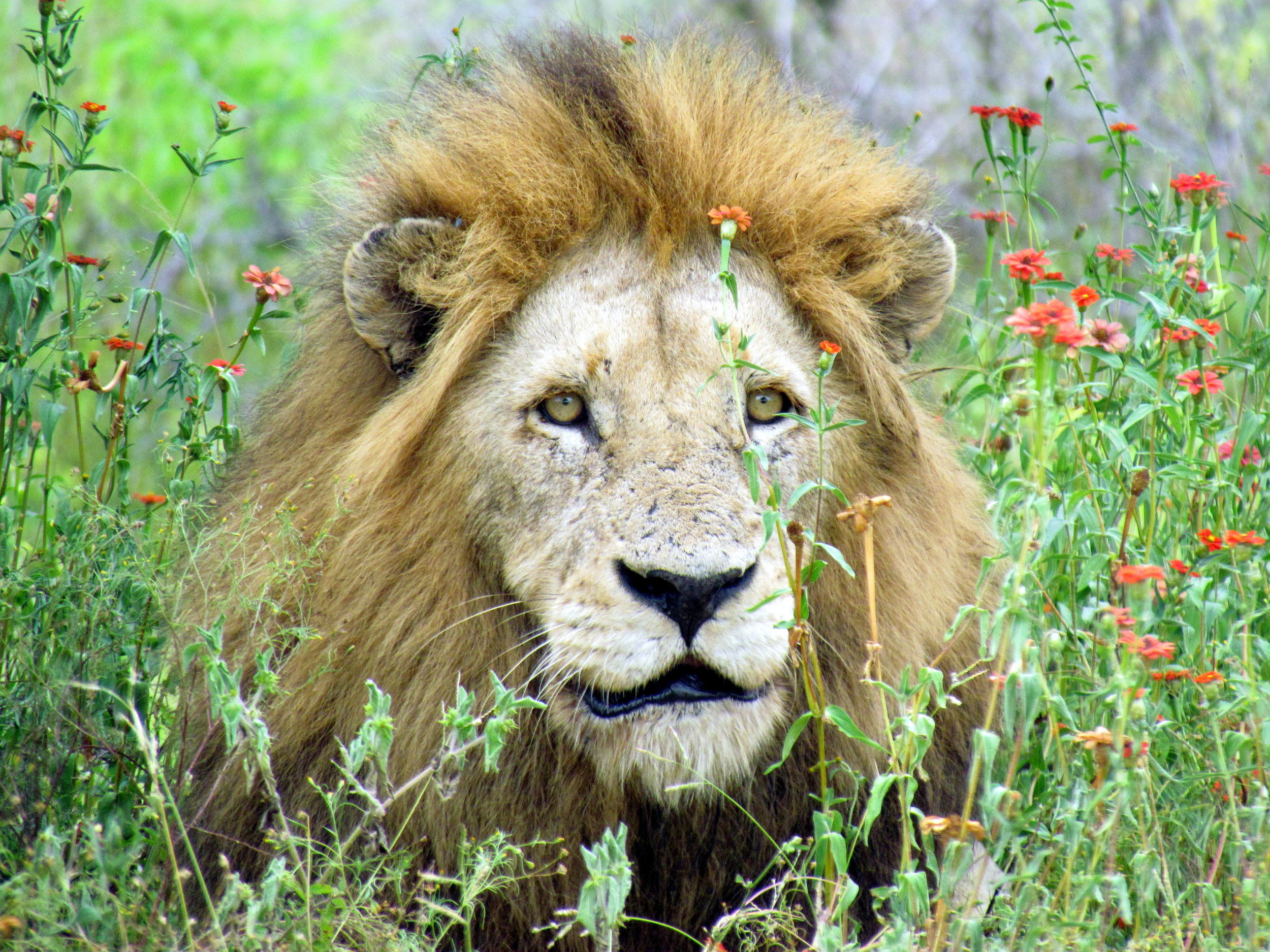 Lion - South Africa Safari - Djuma Game Reserve - Sabi Sand - Kruger National Park   Photo credit: David Berkowitz