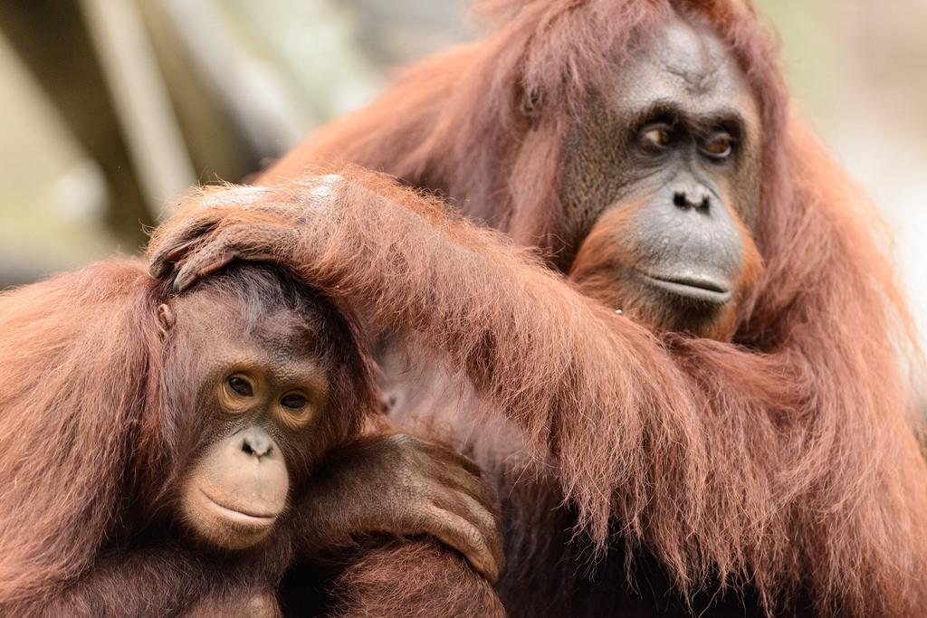 Eric Kilby - Young Orangutan Sitting by Mom