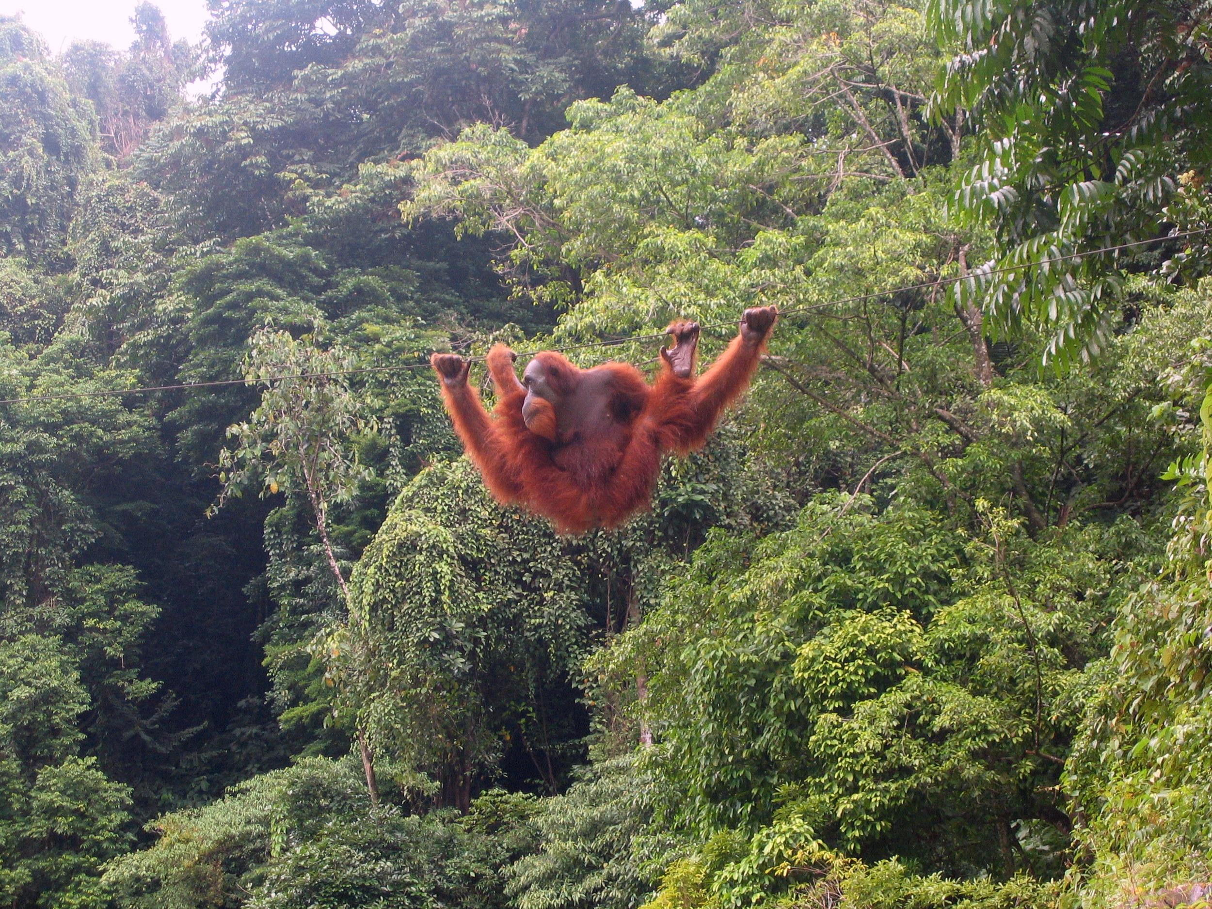 A Sumatran orangutan at   Bukit Lawang  , Indonesia.