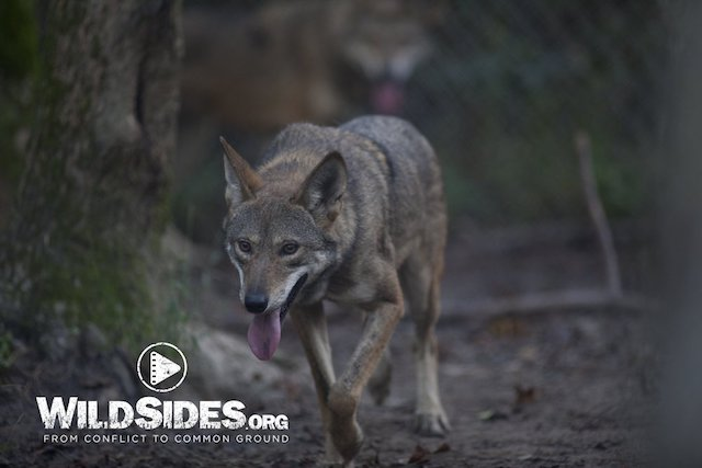 Photo 2:  Red Wolf in a Holding Pen at Alligator River National Wildlife Refuge in Red Wolf Country. This is a   high resolution photo   by Jeffrey Mittelstadt and is not a screenshot from the film. We will remove the WildSides.org watermark.