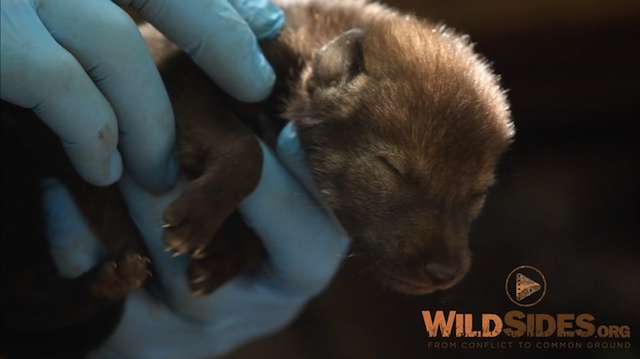 Photo 3:  Wild Red Wolf Pup. This is a   screenshot   from the film itself. We will remove the WildSides.org watermark.
