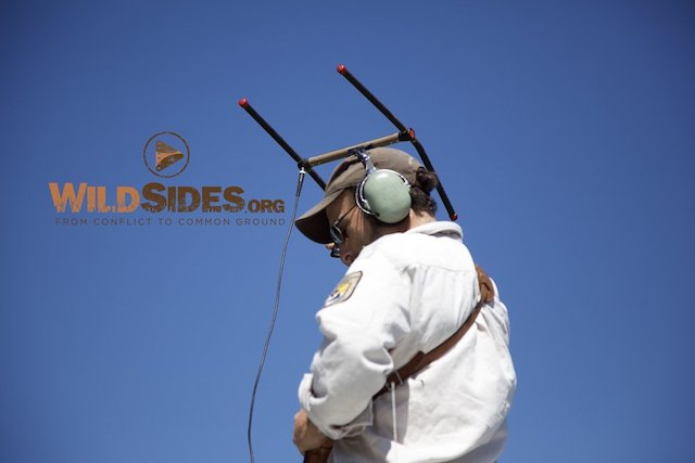 Photo 8:  Chris Radio Tracking in the Field. This is a   high resolution photo   by Jeffrey Mittelstadt and is not a screenshot from the film. We will remove the WildSides.org watermark.
