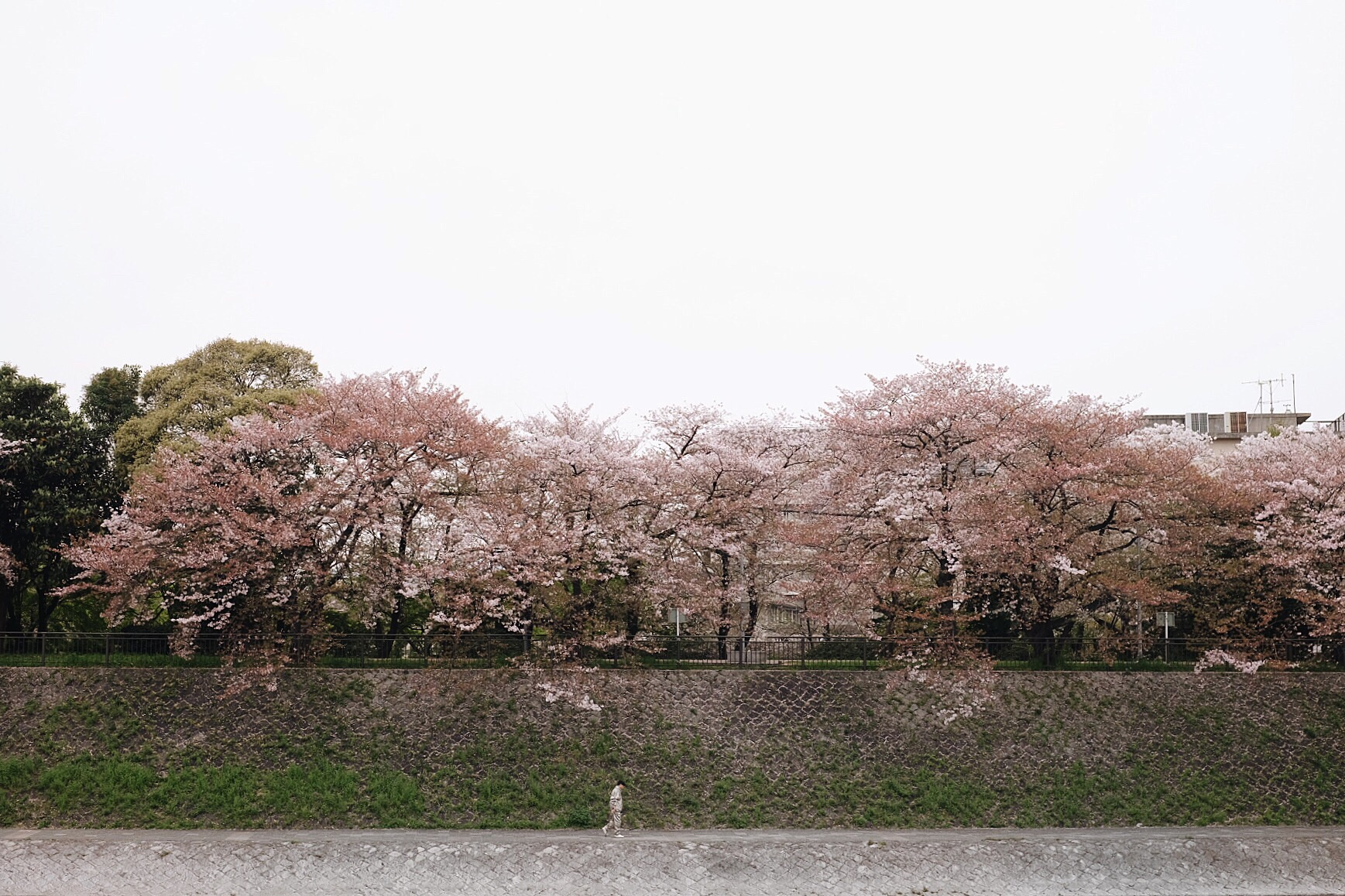 Cherry blossom trees along the Kamo River in Kyoto.