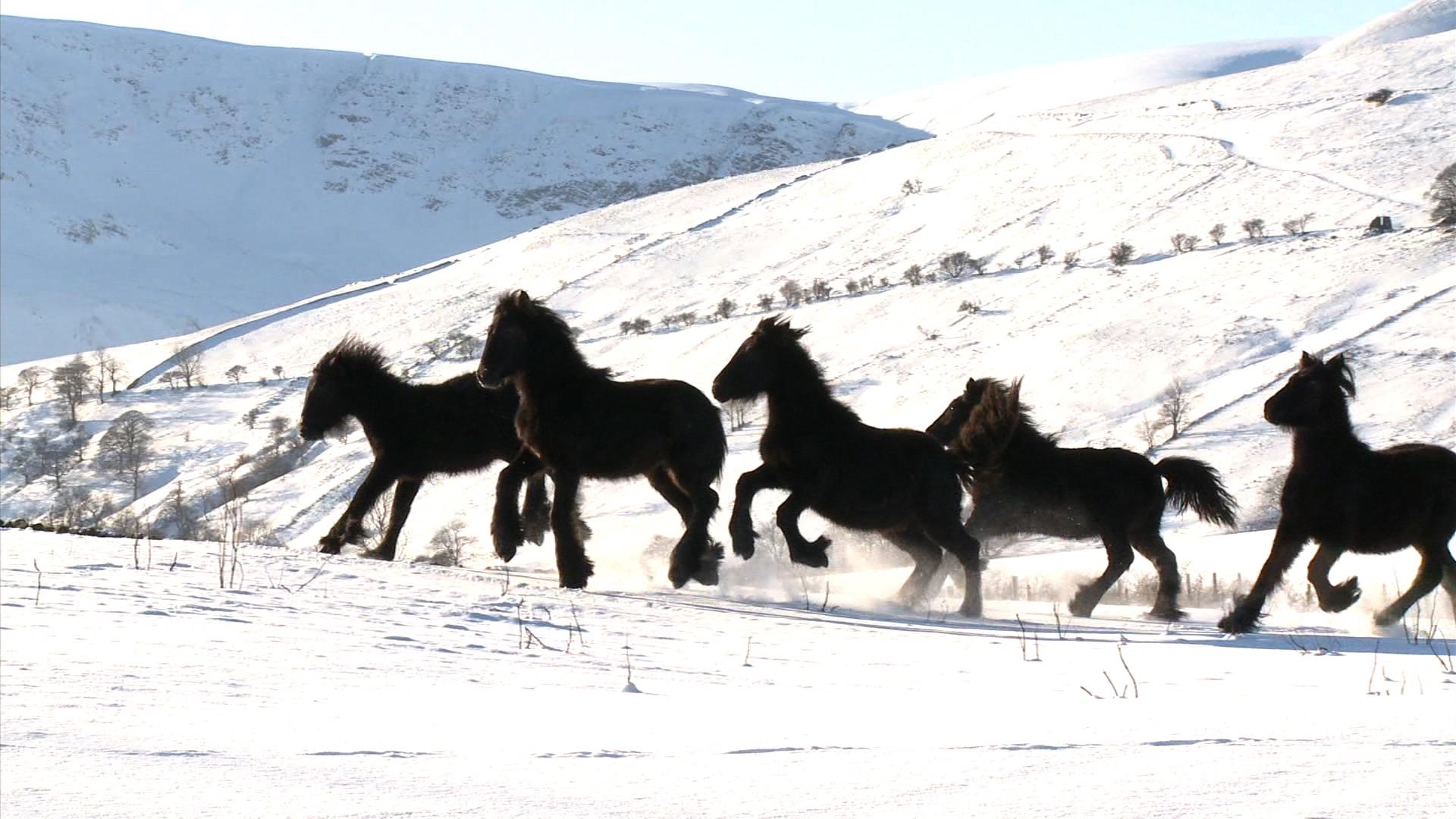 Murthwaite foals, Howgill Fells