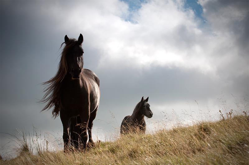 Lunesdale mares, Roundthwaite Common