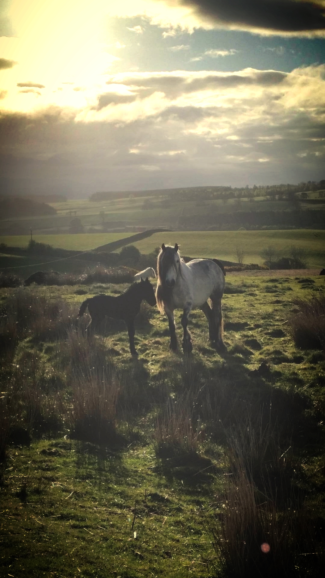Drybarrows ponies on Bampton Common above Haweswater