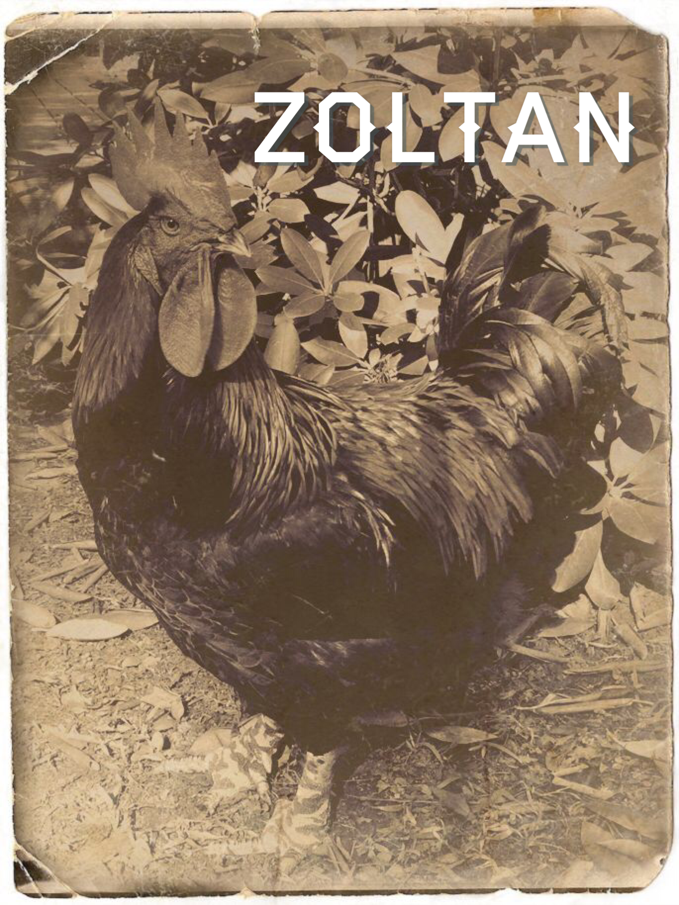 ZOLTAN - Found wandering in Queens, carefully protecting Flopsie and Mopsie.