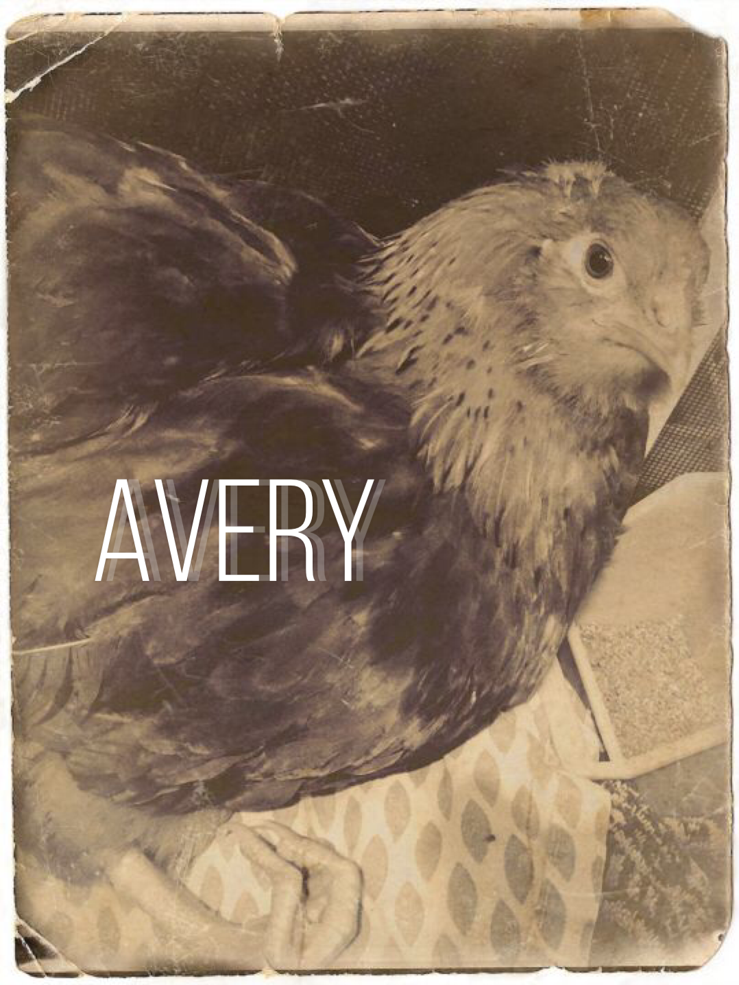 AVERY - Born in a class chick hatching experiment, Avery has a bent and disabled leg.