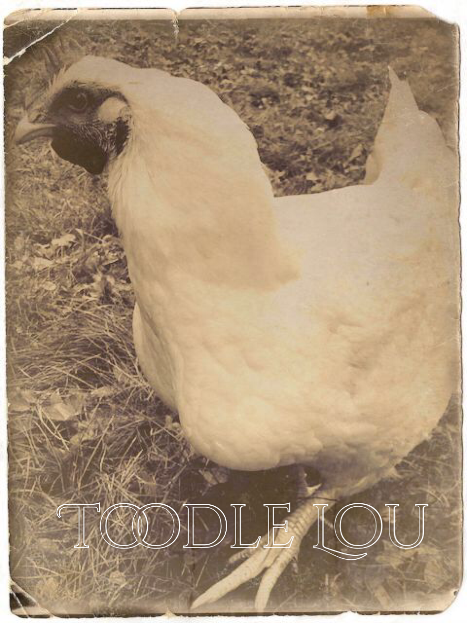 "TOODLE LOUISE (LOU) - Was going to be slaughtered by someone in their backyard, but the person who bought her as a chick decided it would be ""too messy"" and had a change of heart."