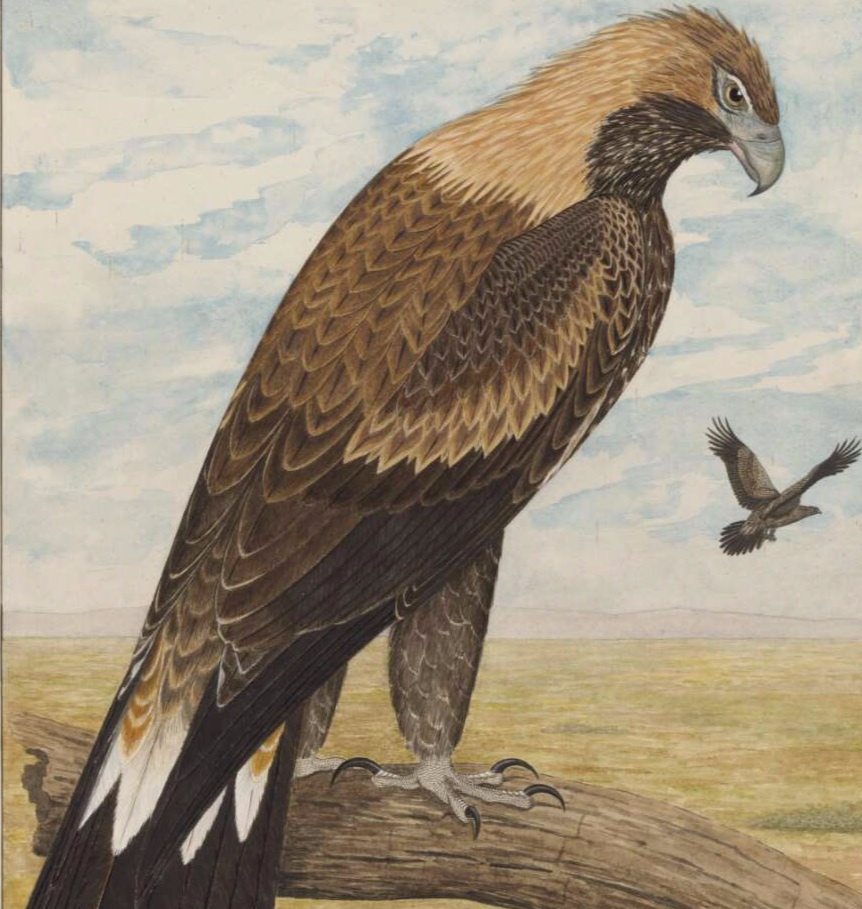 The wedge-tailed eagle, E Gostelow, National Library of Australia, nla.obj-134848960