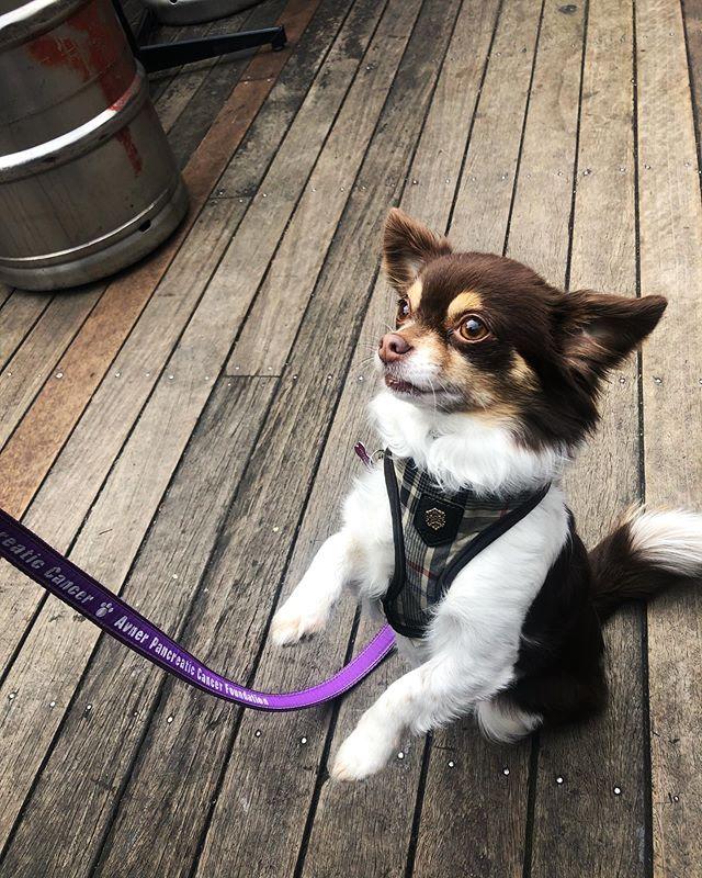 Effy doing her best 'stick 'em up' 🤠 🔫😂... ... ... ... #pubdogs #dogsofgnh #smalldogs #dogsdoingtricks #sundayfunday