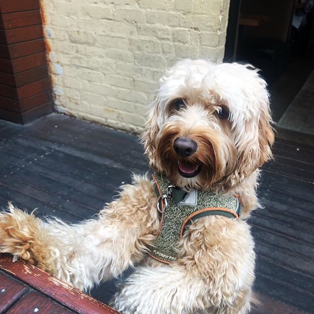 When you're dreading work tomorrow but then you remember you're a dog and you don't have a job 😂 💼 (Thanks Hank! ☺️😍)... ... ... ... #pubdogs #dogsofgnh #weekendvibes #everydayisasundayforadog #beergarden