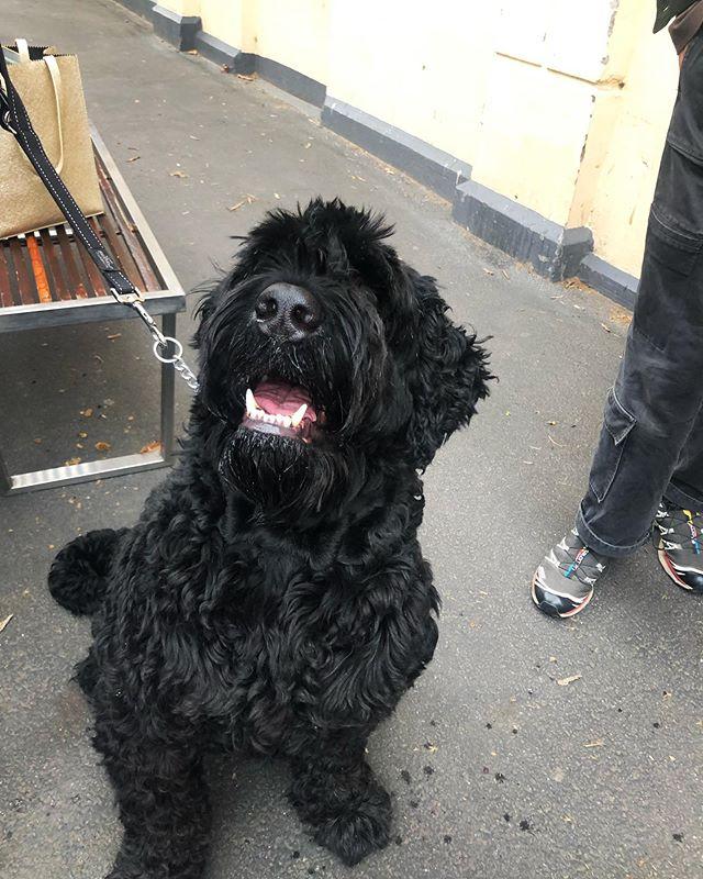 Big boy Zaruba is just happy to be here 😊👍🏻... ... ... ... #pubdogs #dogsofgnh #bigdog #sundayfunday