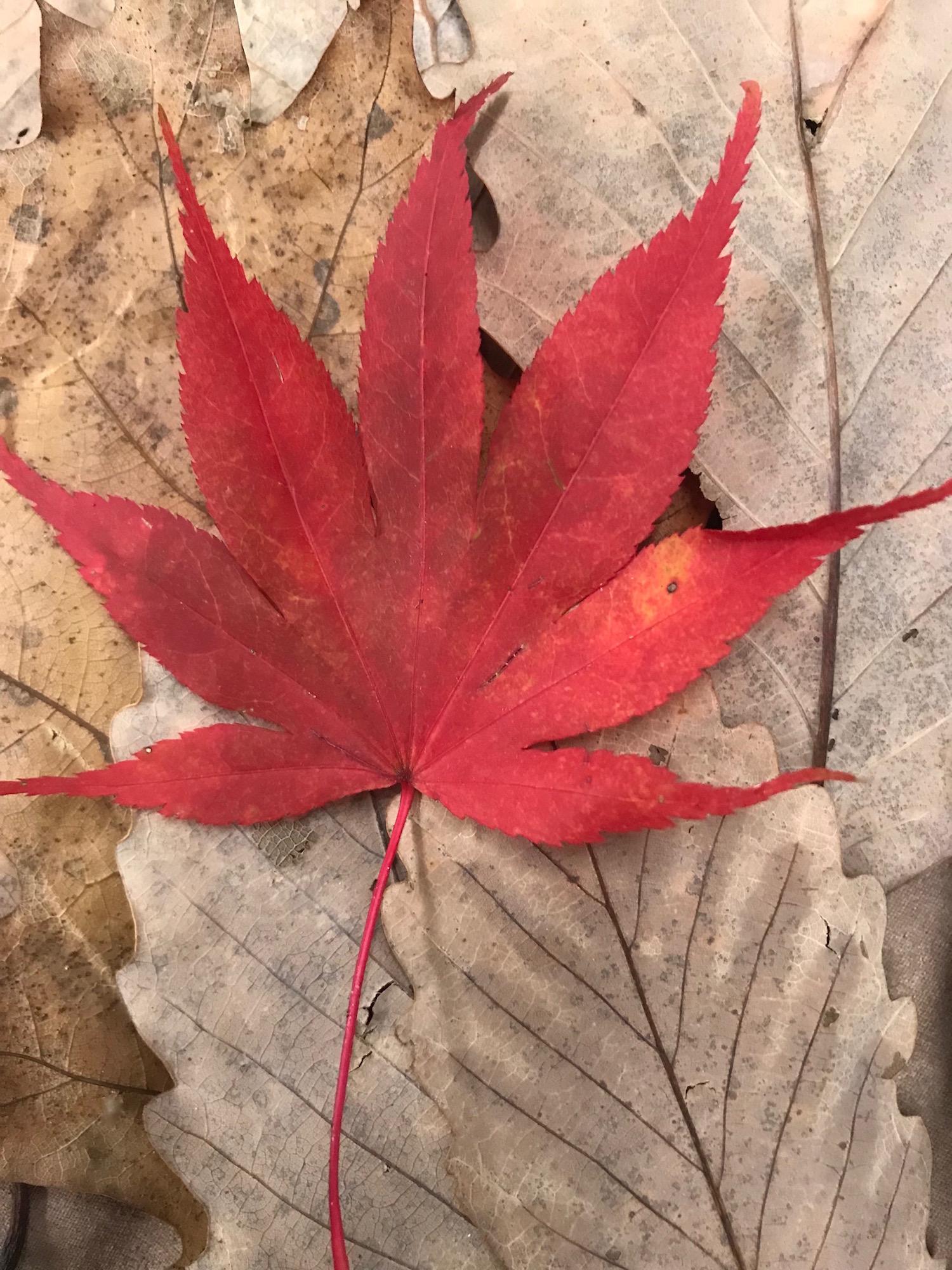 com nov red leaf up edited.jpg