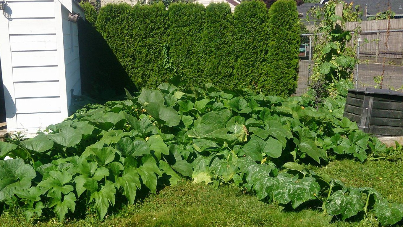 My squash plants: which I am in equal parts proud and terrified of.