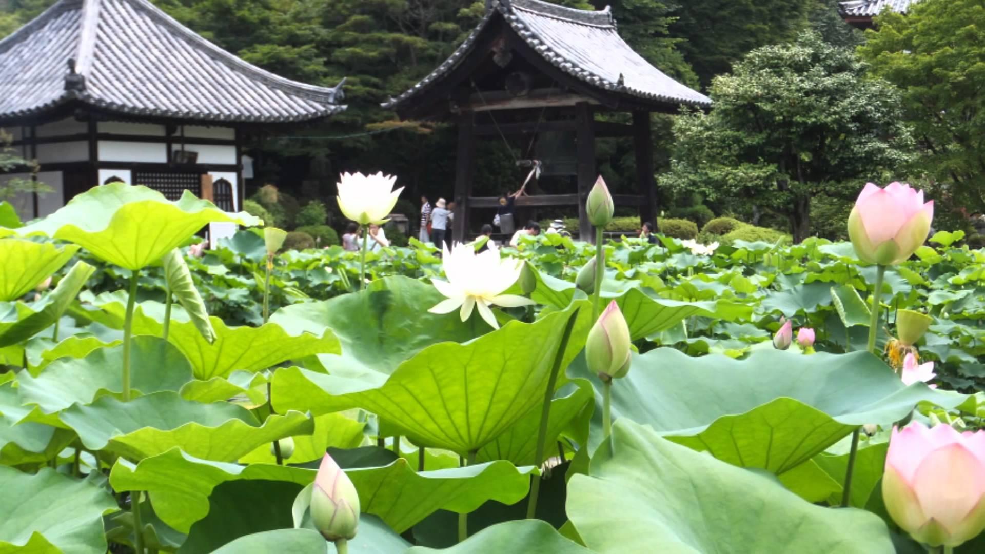 mimurotoji lotus.jpg