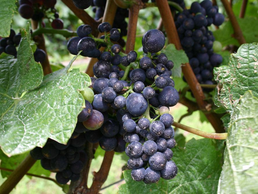 winery-grapes-blog718.jpg