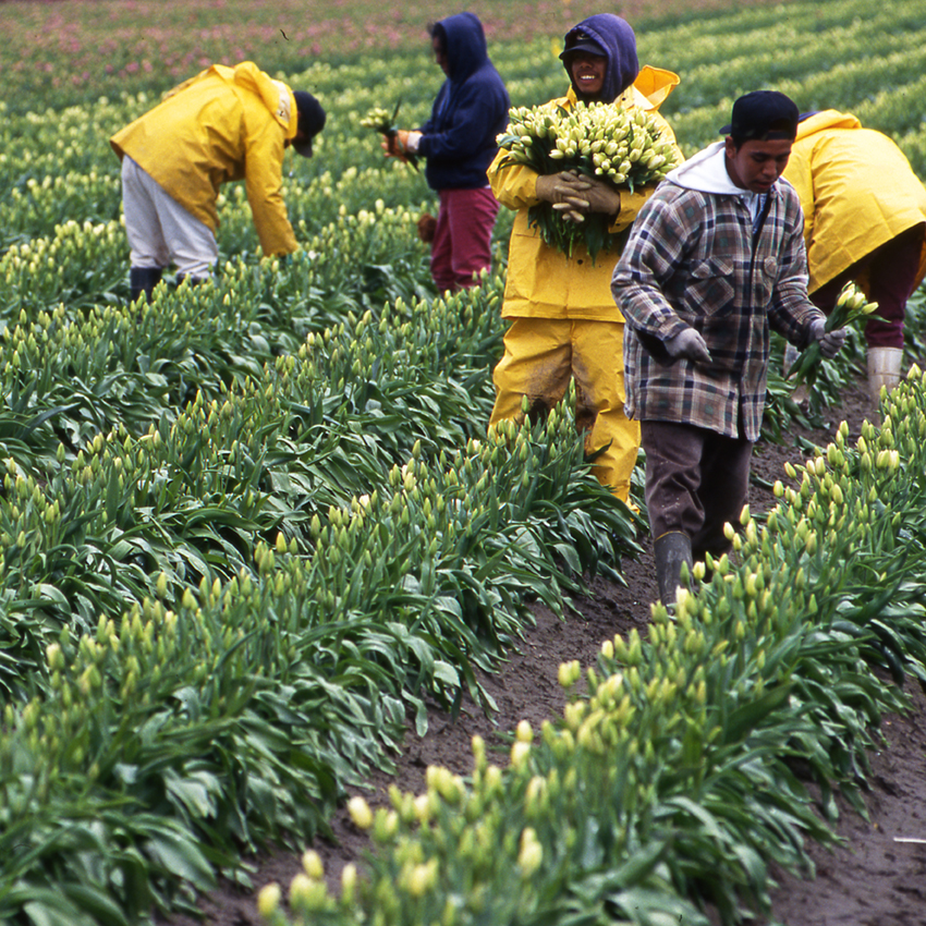 Workers in the tulip fields of Skagit Valley, Washington