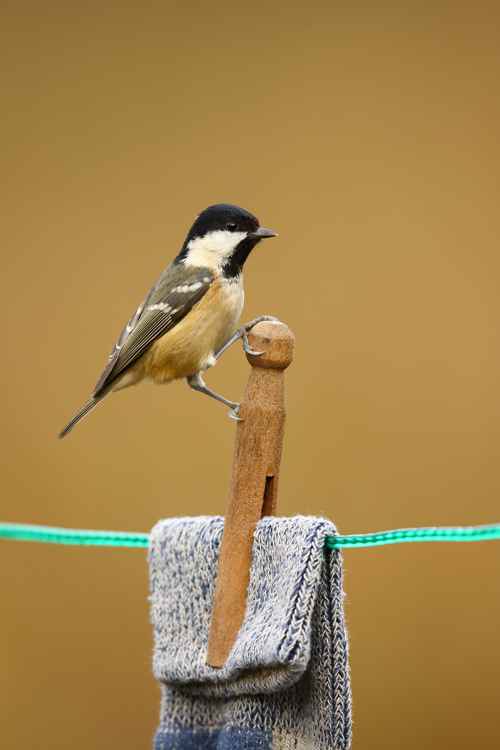 Coal Tit on clothes peg.jpg