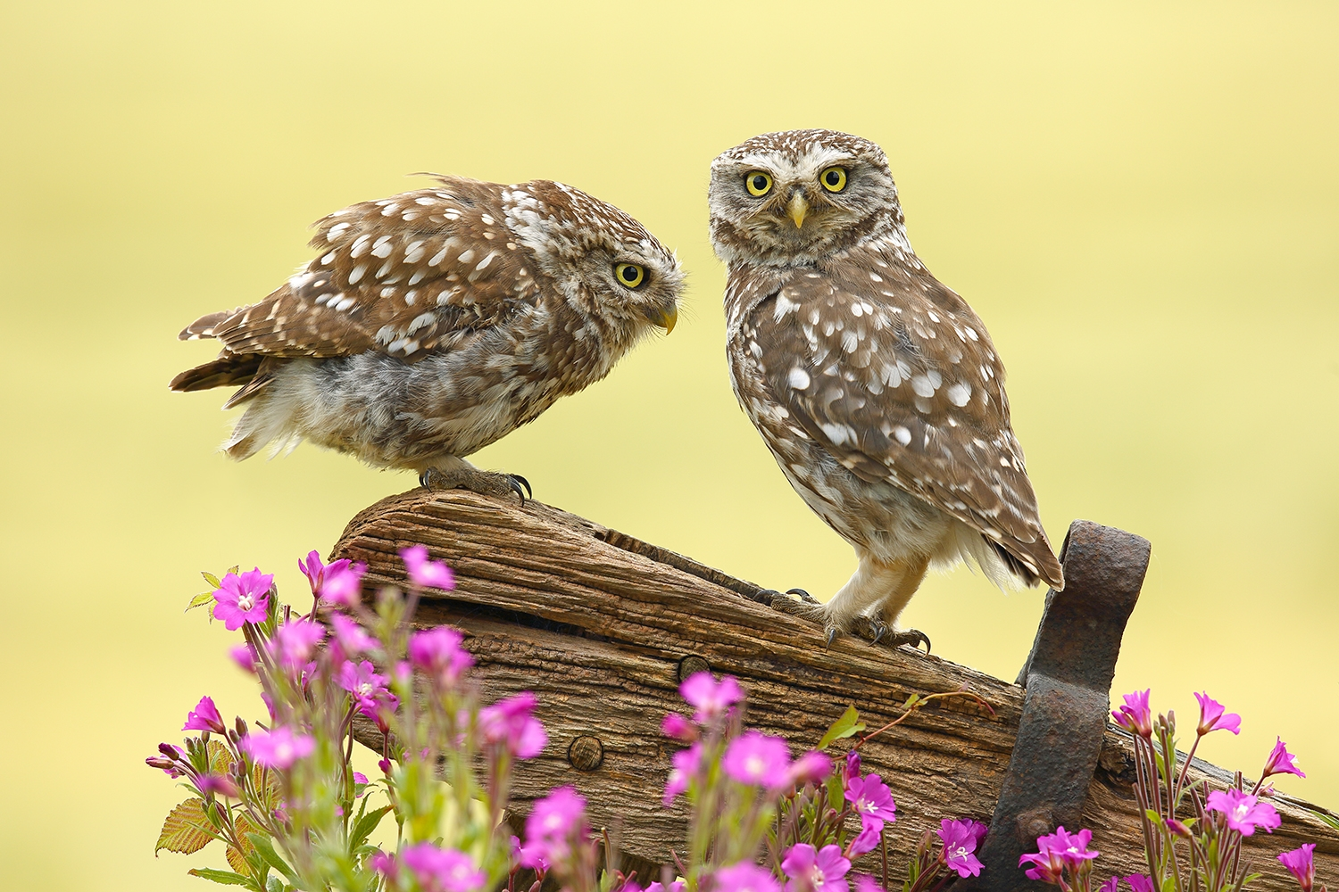Two Little Owls.jpg