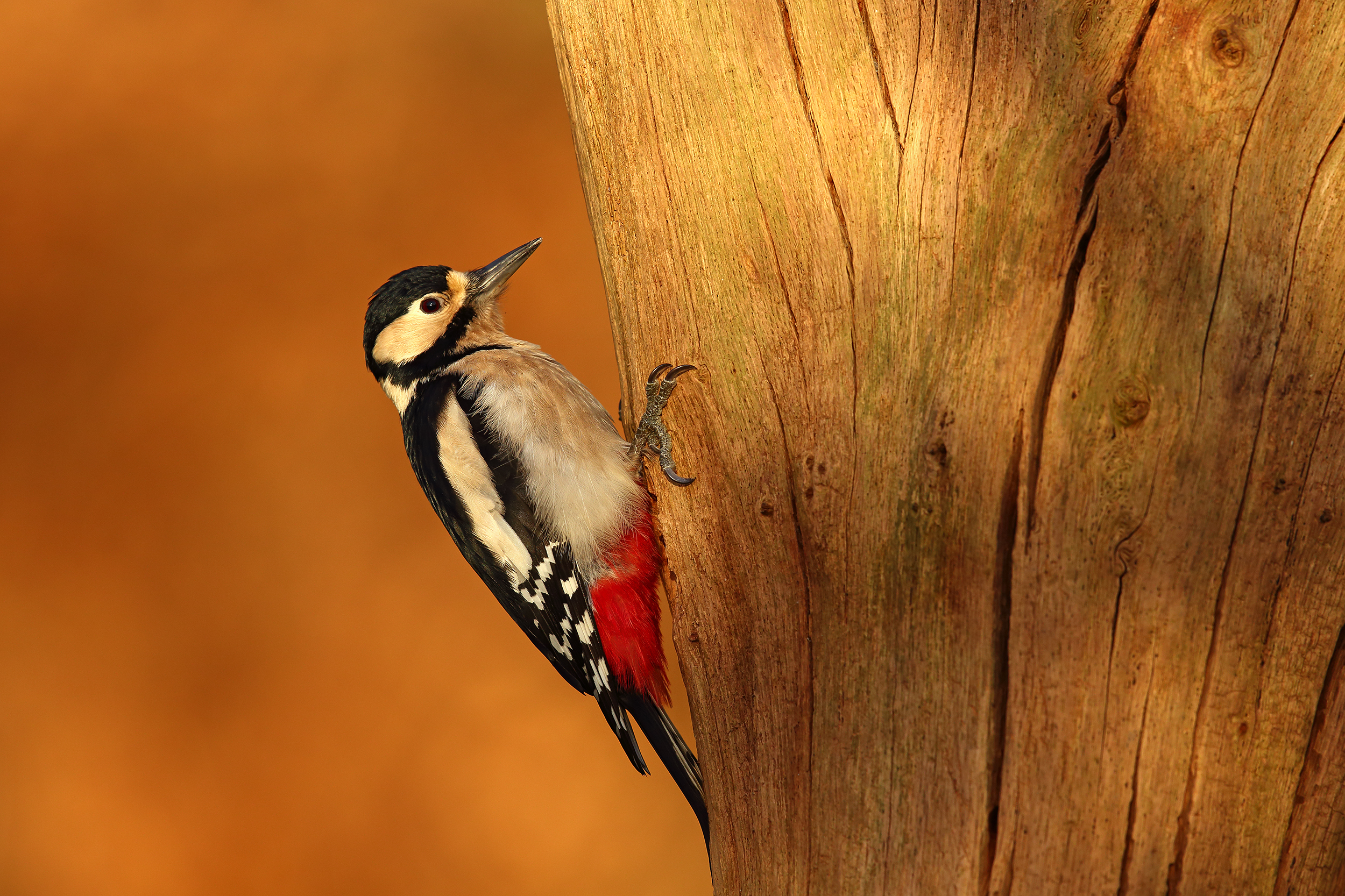 great, spotted, woodpecker, simon, roy, photography