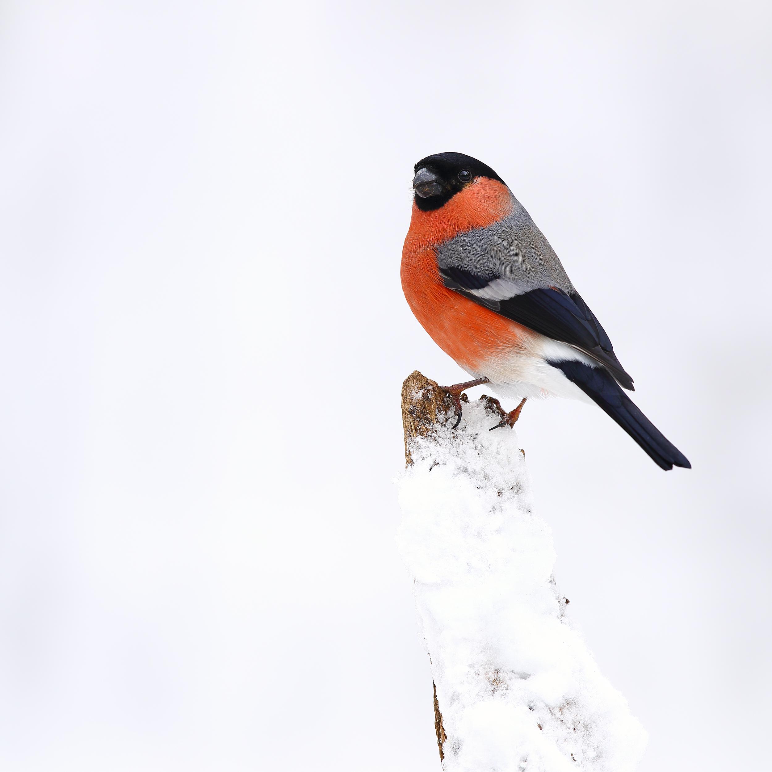 male, bullfinch, simon, roy, photography, winter, snow, woodland, hide