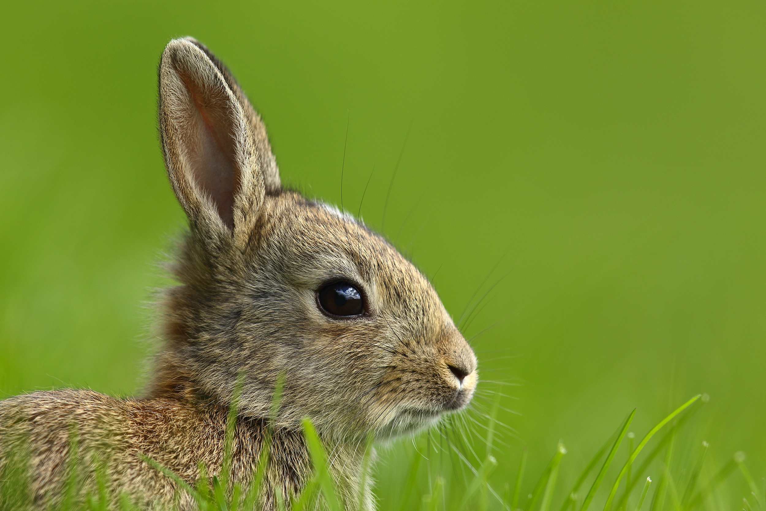 stripe, bunny, rabbit, simon, roy, photography, juvenile, spring, easter, Yorkshire, wild